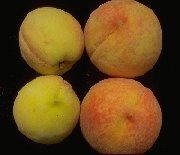 small peaches on the left (unsprayed), large peaches on the right (sprayed with botanical dormant oils)